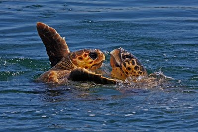 Μέτρα για την προστασία της χελώνας caretta caretta ζητούν 53 βουλευτές του ΣΥΡΙΖΑ