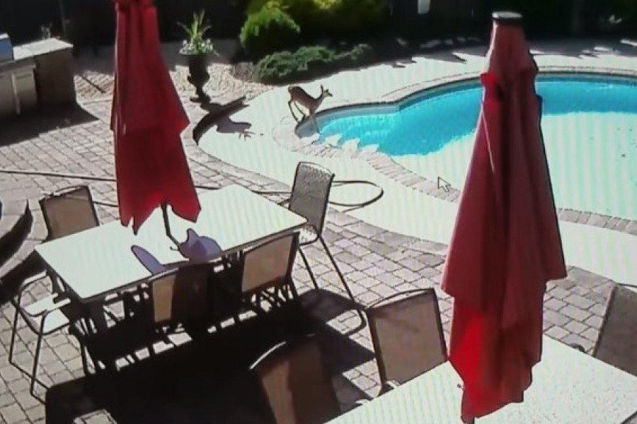 Ελάφι έκανε βουτιά σε πισίνα σπιτιού για να γλιτώσει από τη ζέστη