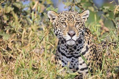 «Δραπέτευσε» τζάγκουαρ και σκότωσε έξι ζώα
