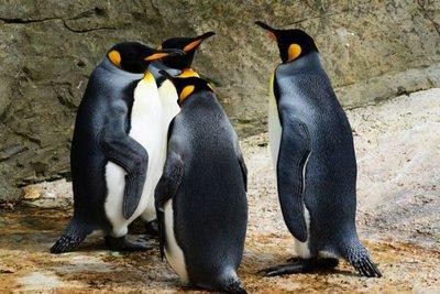Τασμανία: 60 μικροί μπλε πιγκουίνοι βρέθηκαν νεκροί πιθανόν από επίθεση σκύλων