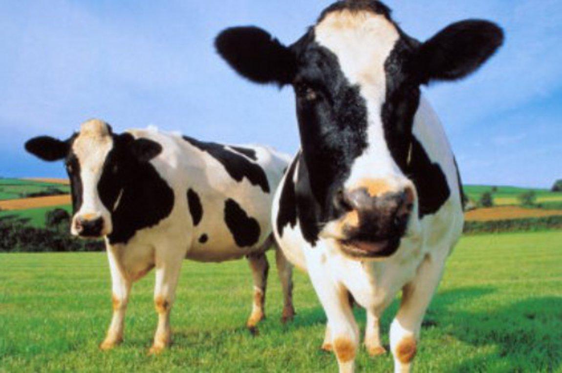 Δημιουργούν σούπερ αγελάδες | αρχείο real news, planet | Real.gr