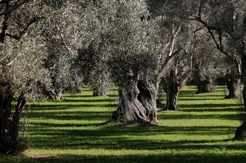 Ο δάκος «χτύπησε» τα ελαιόδεντρα στην Αλεξανδρούπολη  -  Άμεση ανάγκη για ψεκασμό