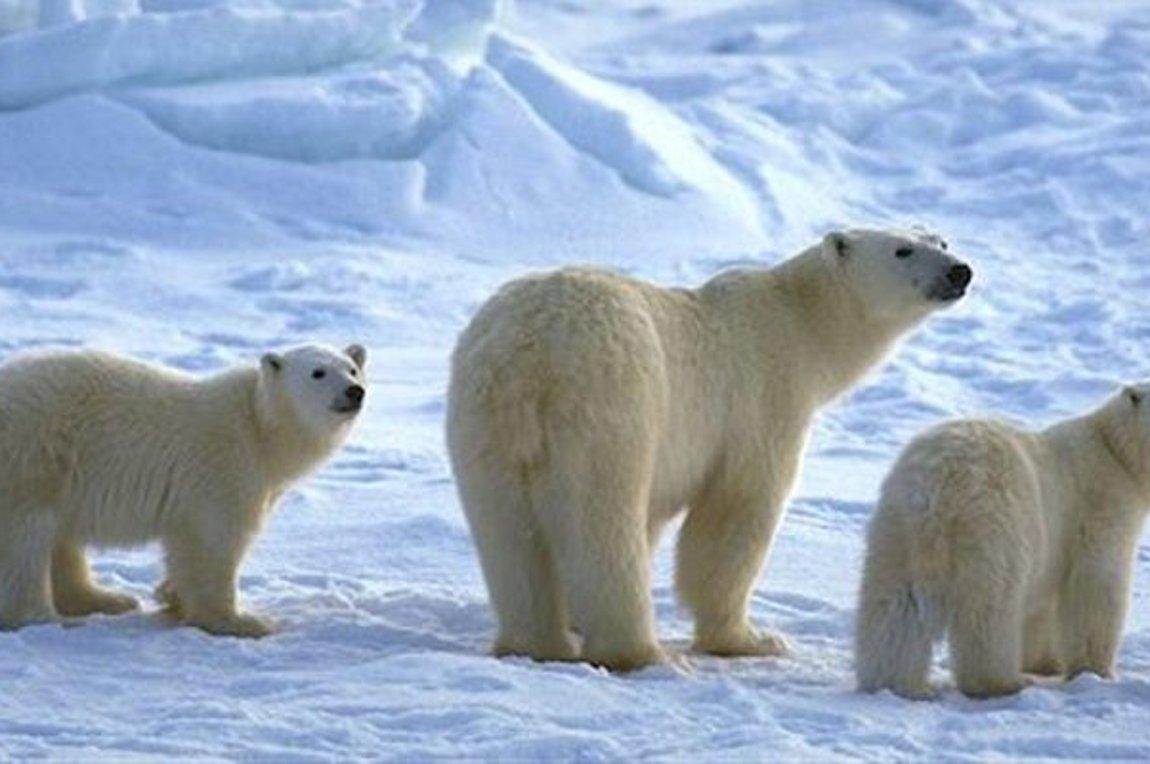 Έρευνα: Η κλιματική αλλαγή απειλεί και τις πολικές αρκούδες - Δεν θα βρίσκουν τροφή