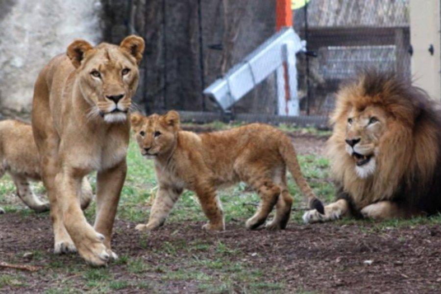 Λέαινα σκότωσε τον πατέρα των μικρών της σε ζωολογικό κήπο των ΗΠΑ