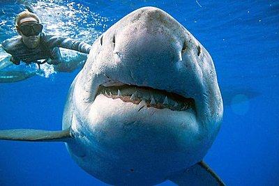 Κολύμπησαν δίπλα στον μεγαλύτερο λευκό καρχαρία που έχει καταγραφεί ποτέ