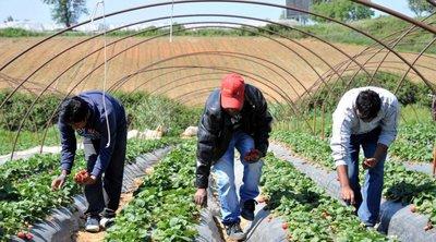 Αρειος Πάγος: Να εξεταστεί χορήγηση άδειας παραμονής σε 355 αλλοδαπούς που δούλευαν σε φραουλοχώραφα της Μανωλάδας