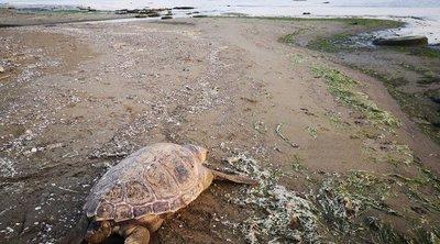 Νεκρή θαλάσσια χελώνα στον υδροβιότοπο της παραλιακής Ναυπλίου-Νέας Κίου