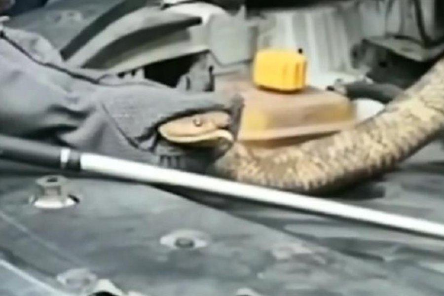Βρήκαν κόμπρα 2,7 μέτρων μέσα στη μηχανή του αυτοκινήτου