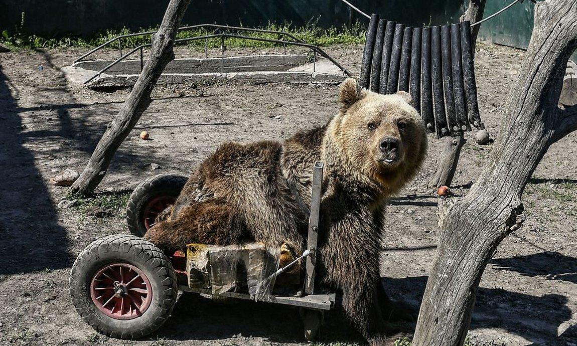 Αρκτούρος: «Έφυγε» ο Ούσκο, η πρώτη αρκούδα στον κόσμο που κινούνταν με αναπηρικό αμαξίδιο