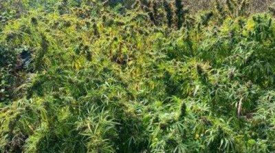 Εντοπίστηκε φυτεία δενδρυλλίων κάνναβης σε δασώδη περιοχή στα Γεράνεια Όρη