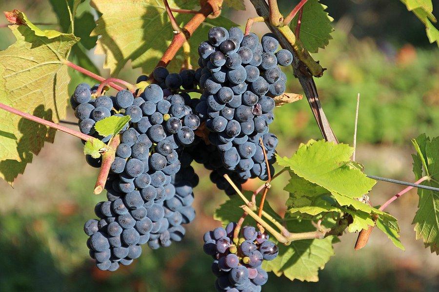 Ερευνα: Απειλή για το κρασί η κλιματική αλλαγή
