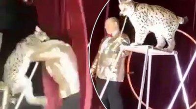 Τρόμος σε τσίρκο: Λύγκας επιτέθηκε στον εκπαιδευτή του - ΒΙΝΤΕΟ