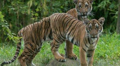 Ινδονησία: Δύο τίγρεις της Σουμάτρας προσβλήθηκαν από την Covid-19 σε έναν ζωολογικό κήπο
