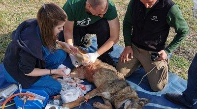 Η «Ελισάβετ», η τραυματισμένη λύκαινα, δεν θα επιστρέψει στο δάσος