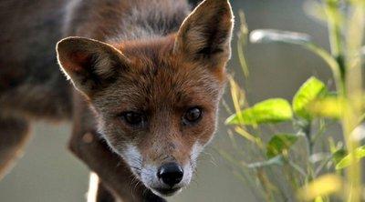 Αντιλυσσικός εμβολιασμός αλεπούδων: Από την Παρασκευή οι ρίψεις δολωμάτων