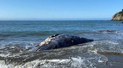 Τέσσερις γκρίζες φάλαινες ξεβράστηκαν νεκρές σε παραλίες του Kόλπου του Σαν Φρανσίσκο - ΒΙΝΤΕΟ