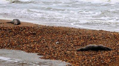 Ρωσία: Πιθανότερη αιτία θανάτου για τις 170 φώκιες στα παράλια της Κασπίας ήταν η παγίδευση τους σε δίχτυα αλιευτικών