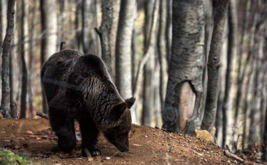 Κοζάνη: Επίθεση από αρκούδα δέχτηκε κυνηγός - Βίντεο