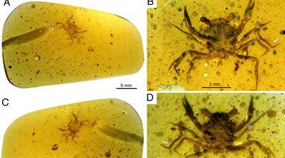 Ανακαλύφθηκε καβούρι ηλικίας 100 εκατομμυρίων ετών από την εποχή των δεινοσαύρων, εγκλωβισμένο σε κεχριμπάρι