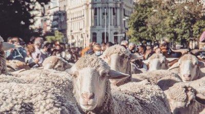 Ισπανία: Πρόβατα γέμισαν οι δρόμοι της Μαδρίτης